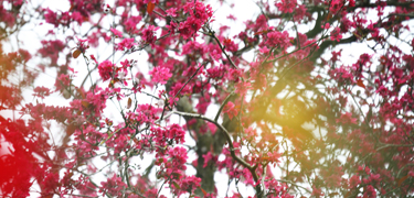 tree wi日 pink blossoms